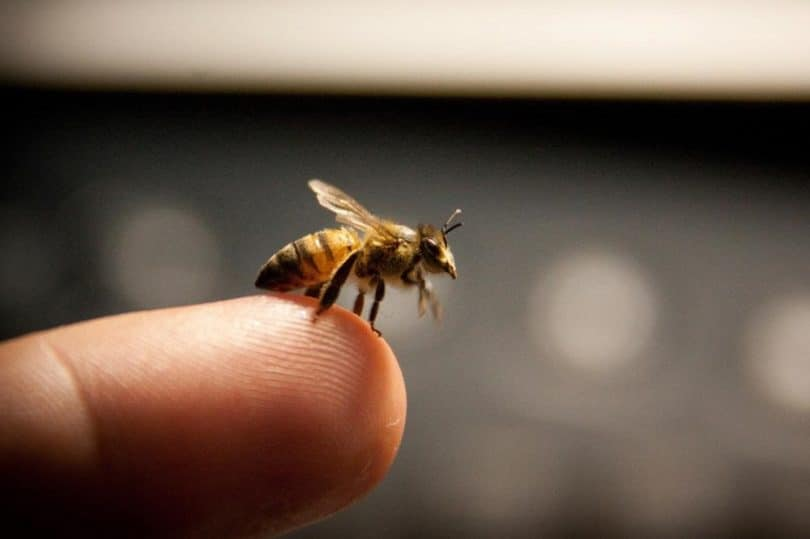 Bee sting tips