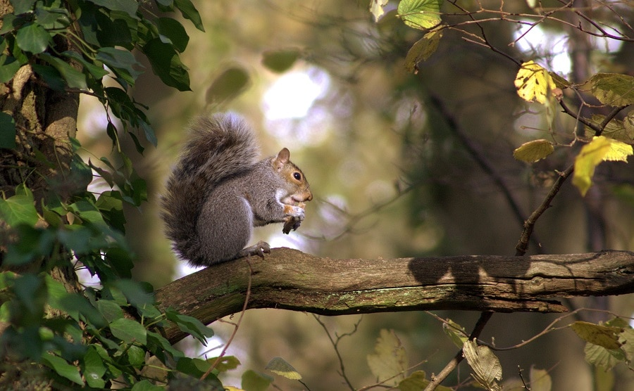 Tracking squirell