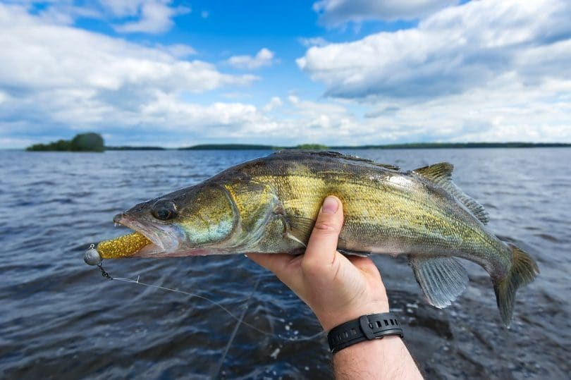 Best lures for walleye
