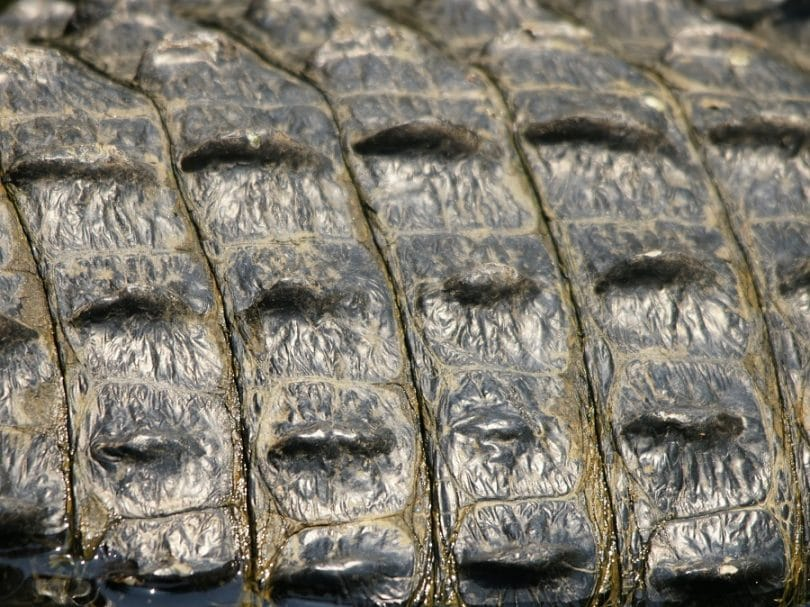 Alligator skin color