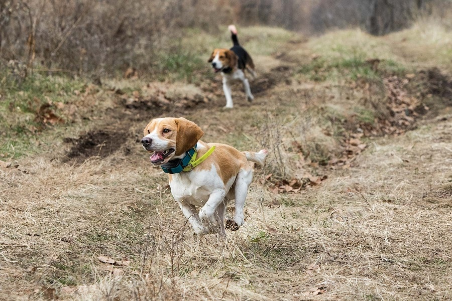 Beagles for small game hunting