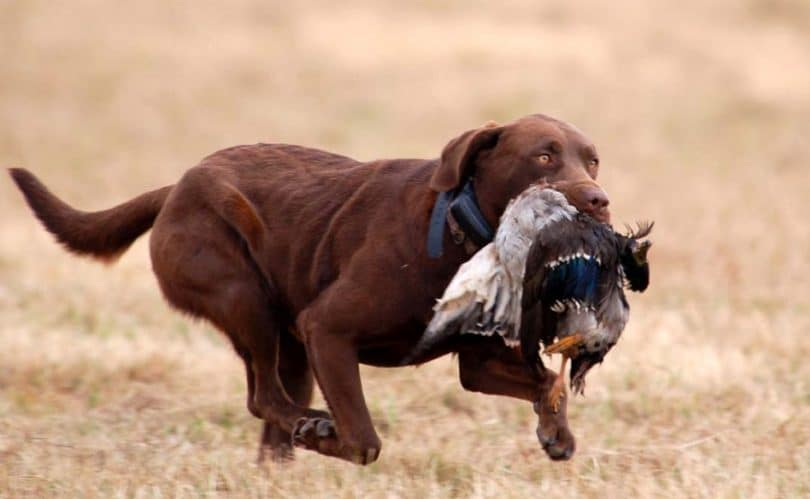Most versatile hunting dog breeds dogs breed for Best dog breed for you