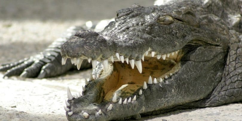 Ccrocodiles actually cry when they eat