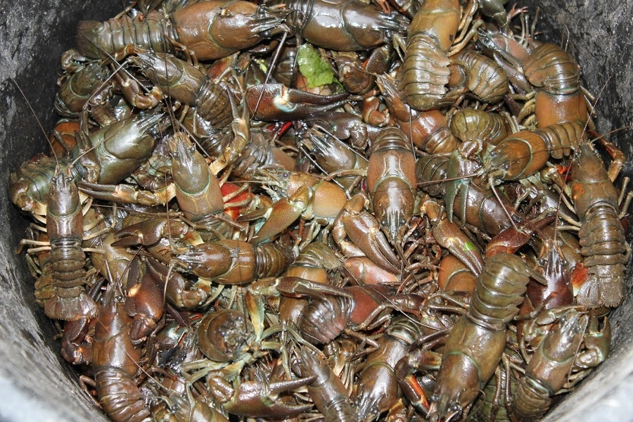 Crayfish Distribution