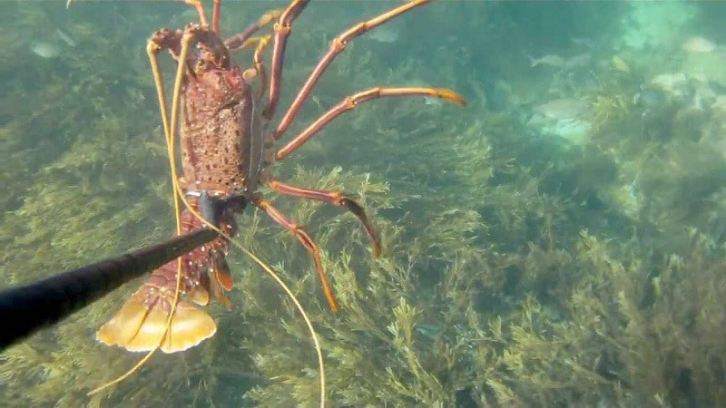 Crayfish Spearing