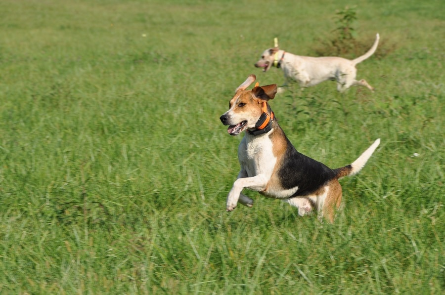 English Foxhound for hunting deer