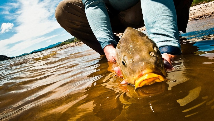 Knowing Your Carp
