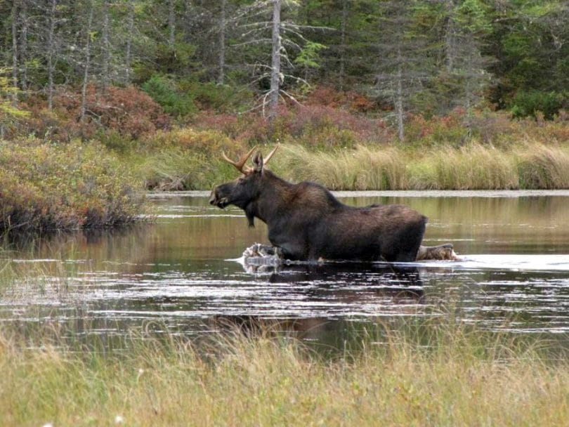 Moose hunting in the wild