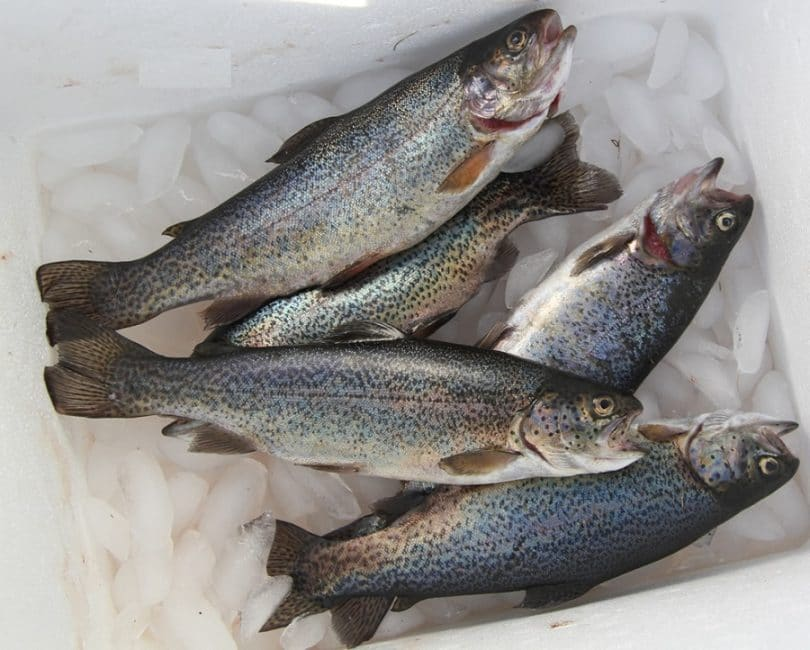Need to Know About Rainbow Trout