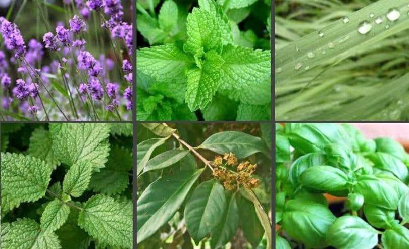 Plants That Repel Mosquitoes How To Use Them In The Wild