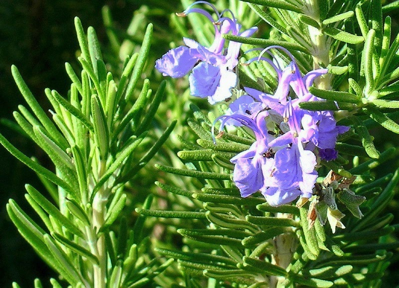 Rosemary plant for Mosquitoes
