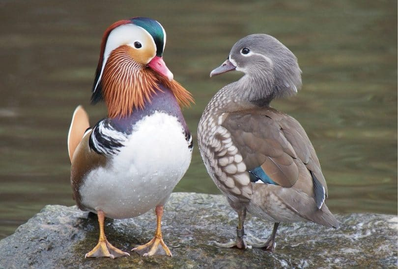 Types of ducks