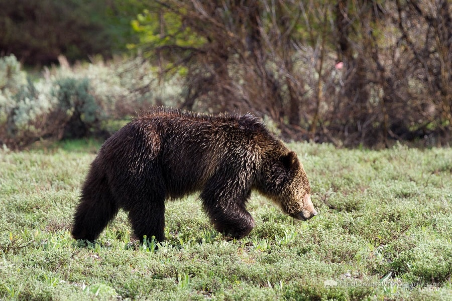 Understanding The Grizzly