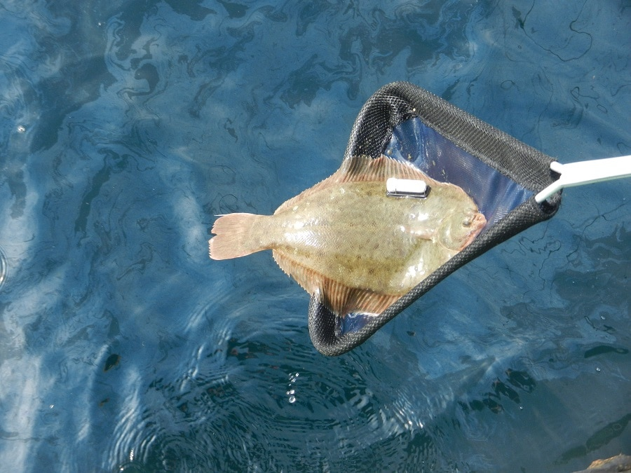 How to catch flounder tips for flat out success for Winter flounder fishing