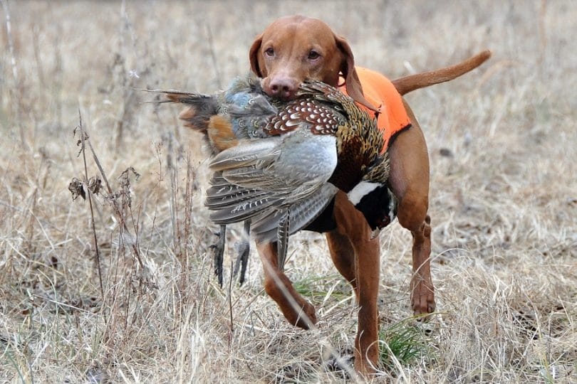 Best Pheasant hunting dog