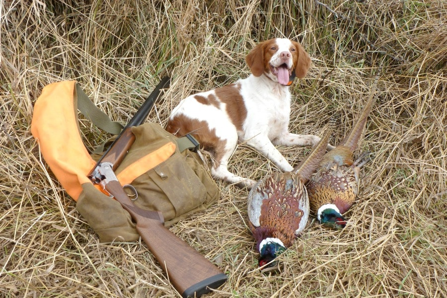 Pheasant hunting Brittany