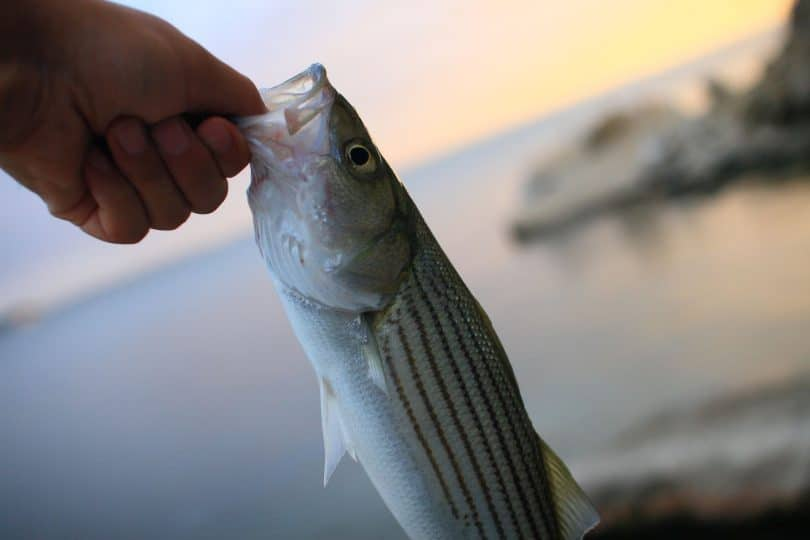 Striped bass close up sunset