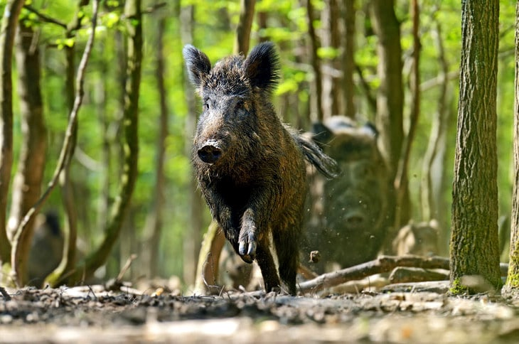 Luring wild boars