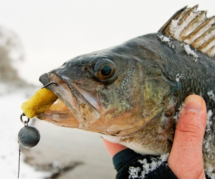 Perch fishing tips a step closer to becoming a perch charmer for Best lures for river fishing