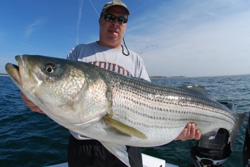Man holding huge striped bass