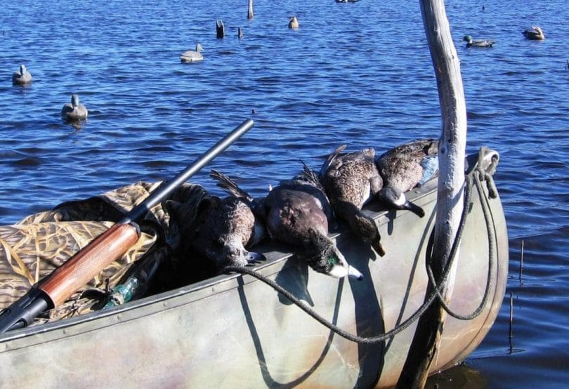 Ducks on a canoe with gun beside them