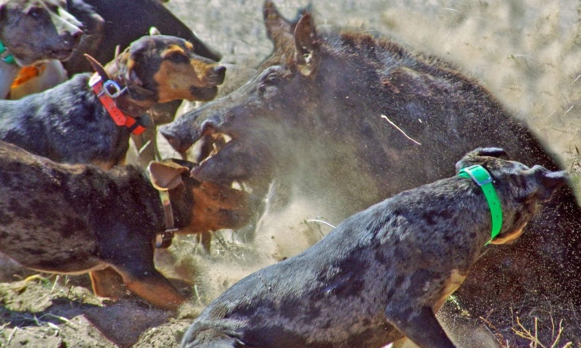 Boar Hunting Dogs How To Choose The Right One For You