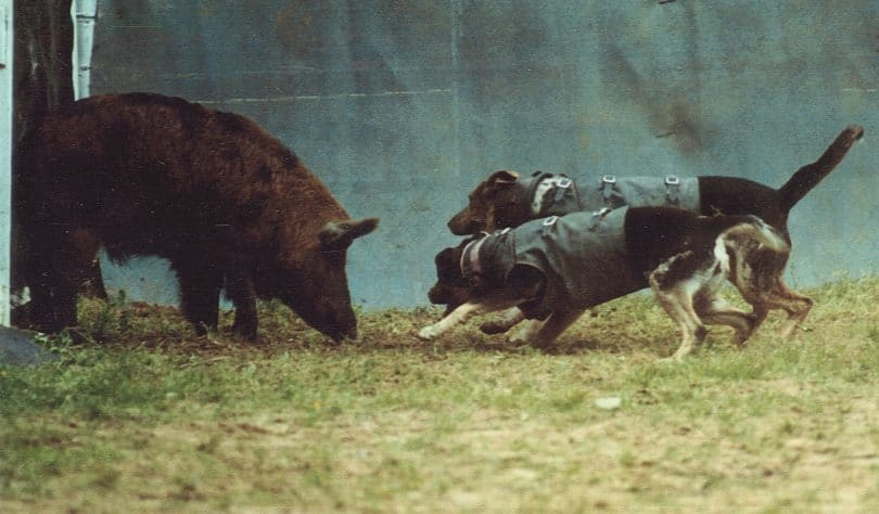 Two dogs cornering a boar