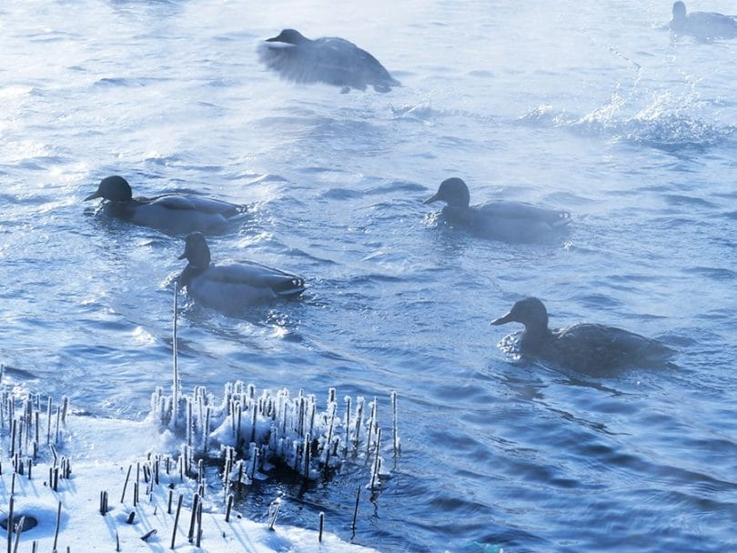 ducks in freezing water