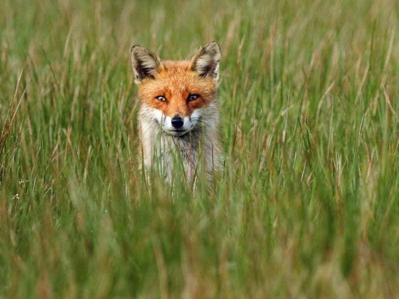fox watching from the grass