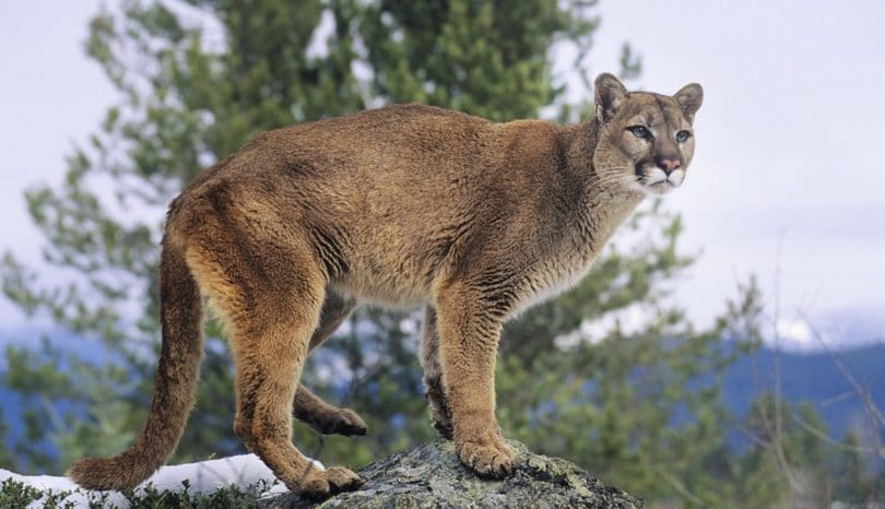 Cougar on a rock looking majestic
