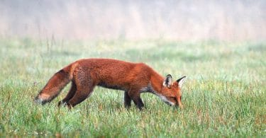 young fox hunting in meadow