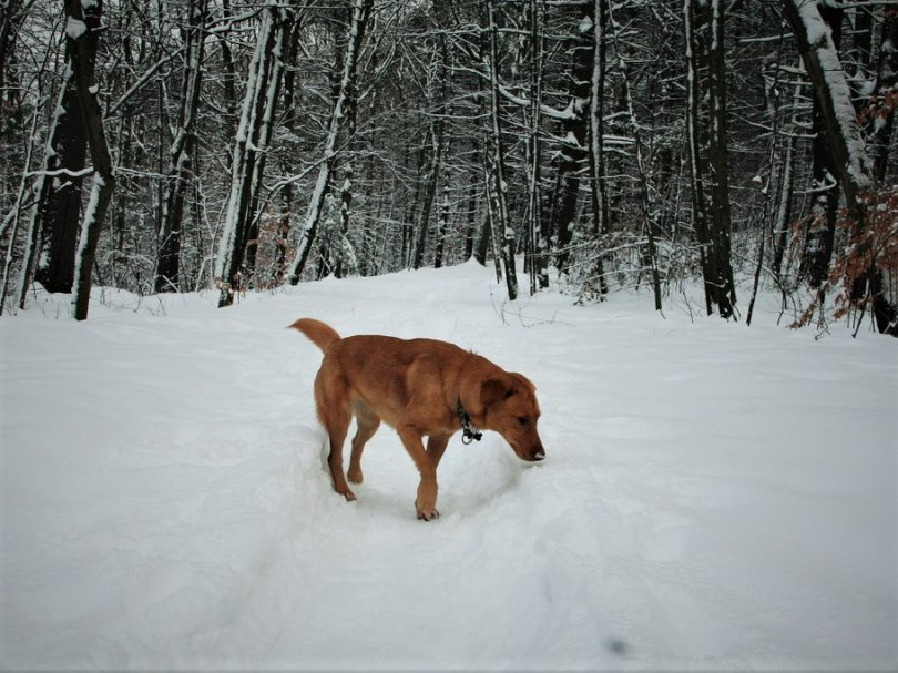 Brown dog on snow trail