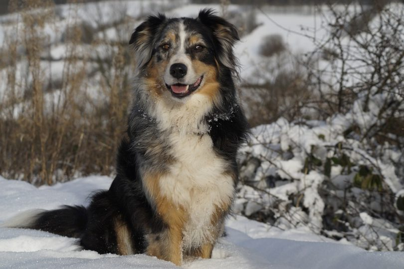 Australian Shepherd dog outdoors sitting in the snow
