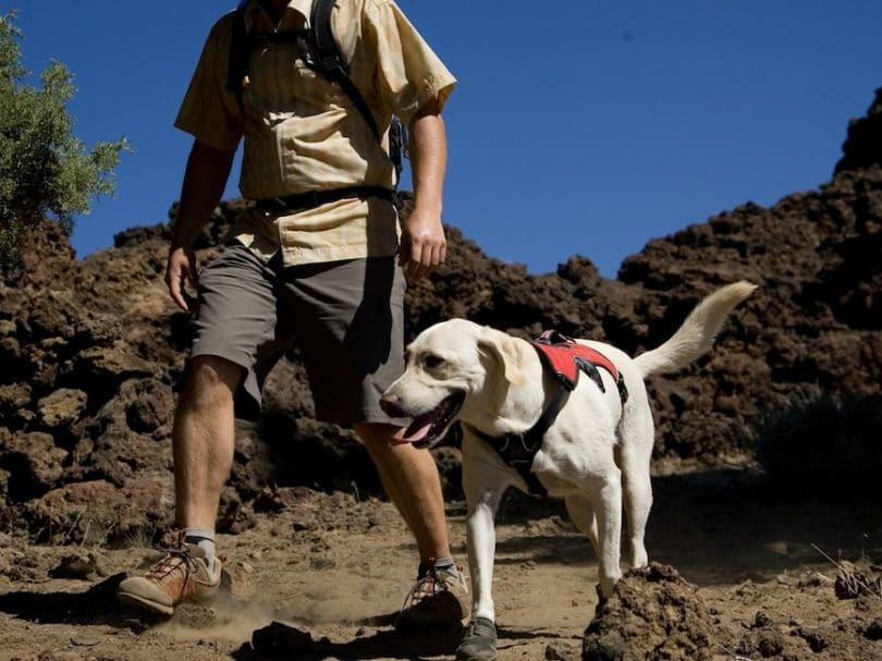 White dog with red vest hiking