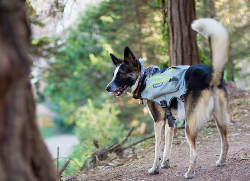 Dog hiking in his doggie backpack