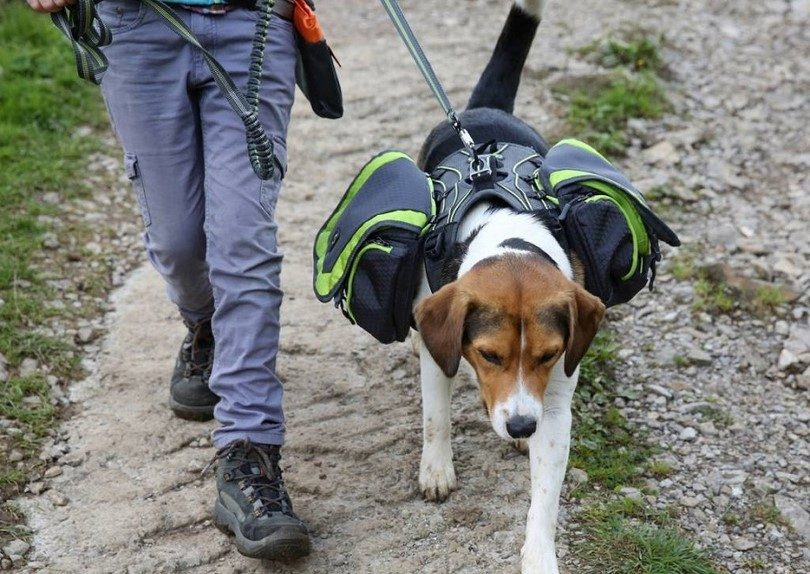 Dog hiking with backpack