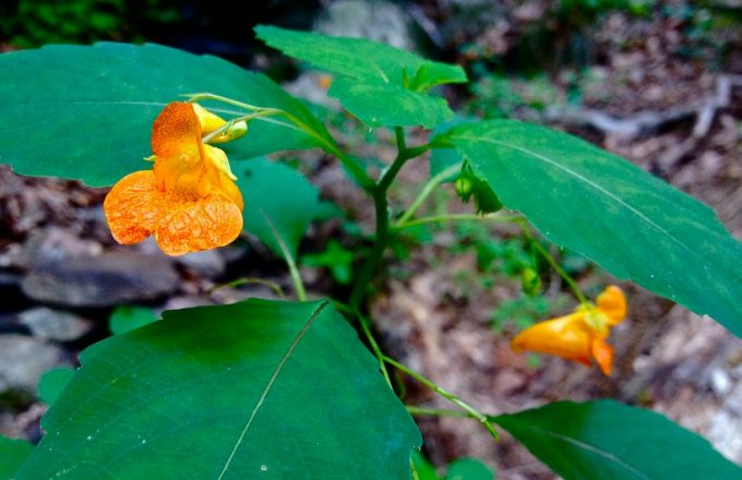 jewelweed in the wild