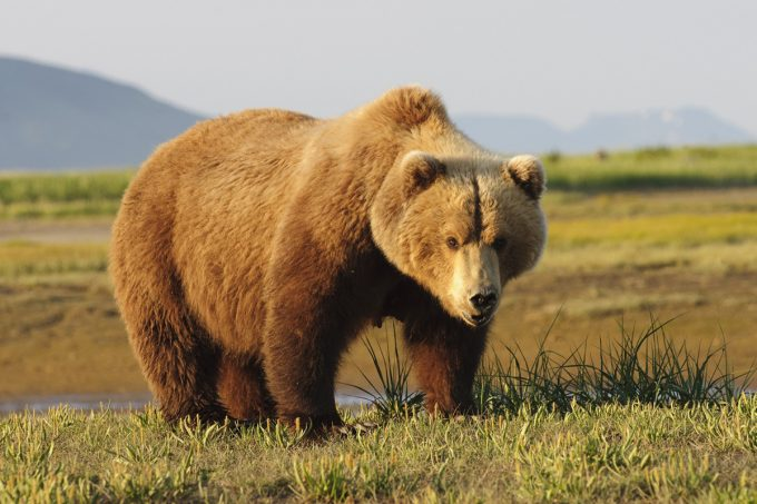 muscule mass brown bear