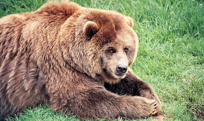 Grizzly/brown bears in North America