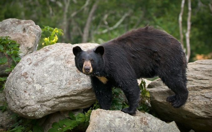 Starving black bear looking for food.