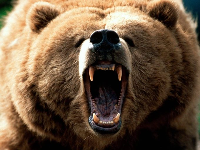 agressive growling bear