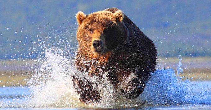 bear running in the water