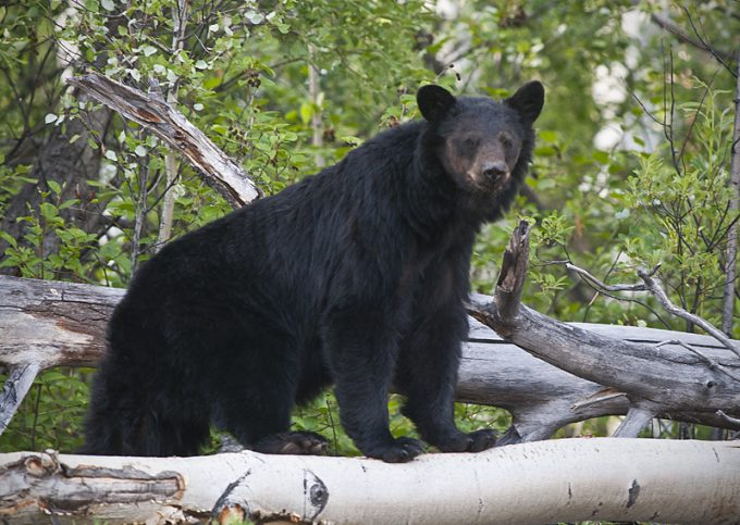 black bear on fallen tree