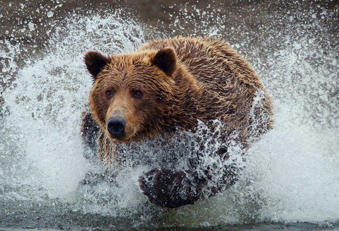 brown bear in water