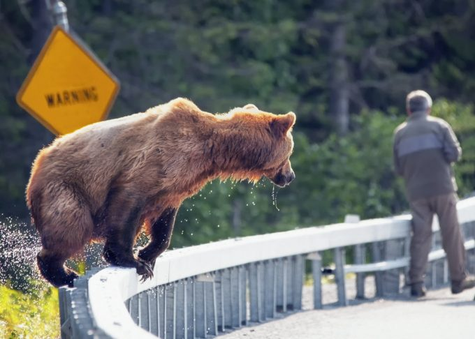 brown grizzly jumping on road