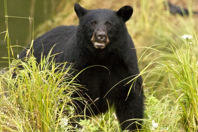 predatory black bear