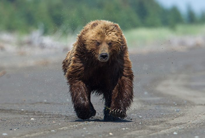 How Fast Do Bears Run: Don't Let Master Bruin Whisper to You