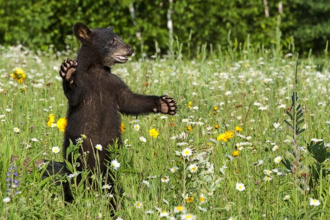standing bear in a wildflowers field