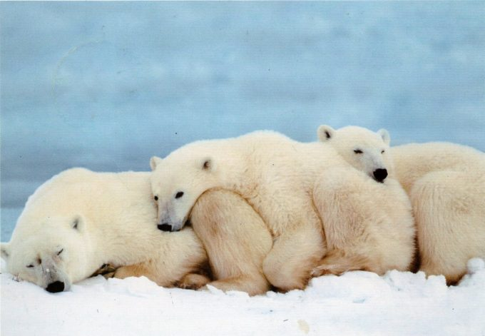 three cute polar bears