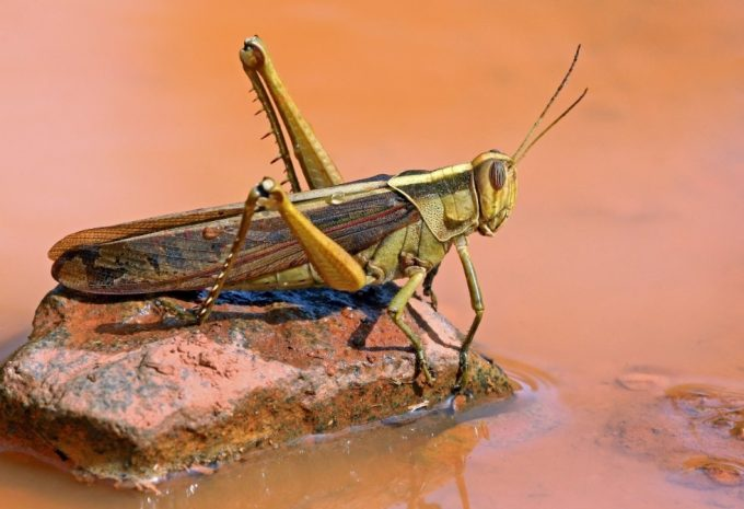 cricket on water
